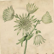 Astrantia major ; Houbigant, Céleste (dessinateur)